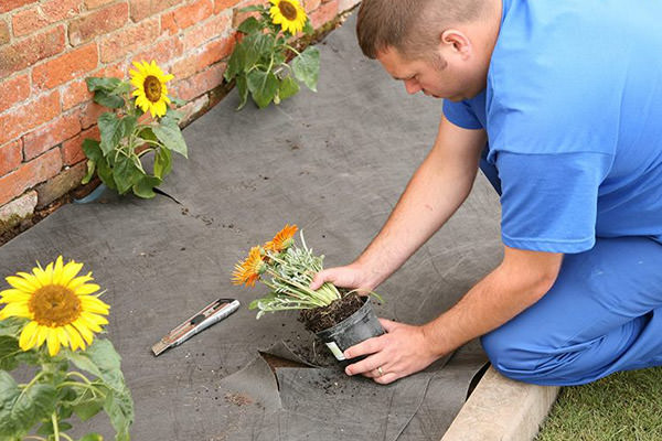 man planting sunflower in bedding area with terram weed guard barrier on