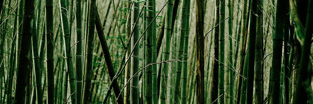 bambo invasive weed species