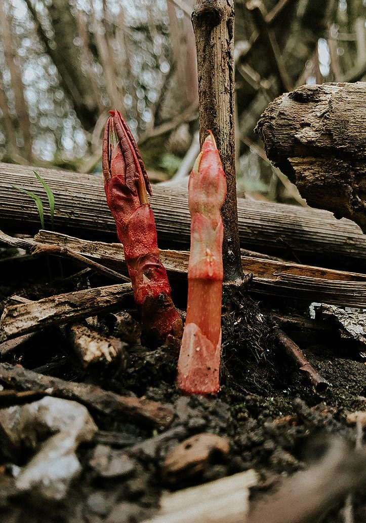 Invasive Japanese knotweed sprouting from the ground