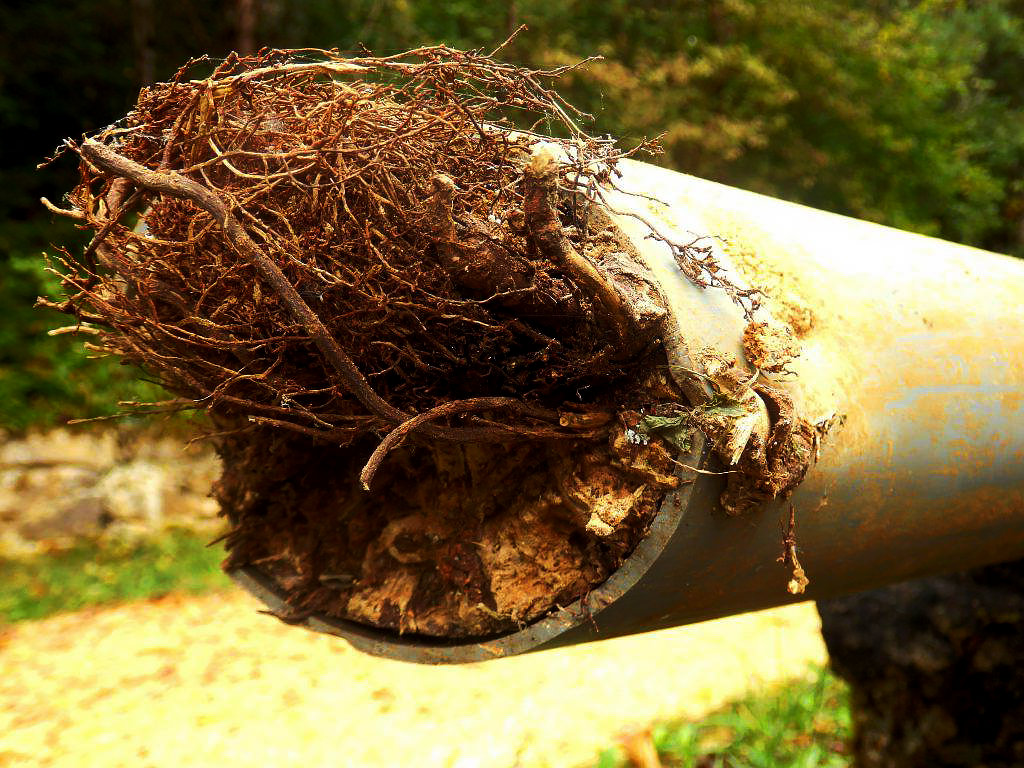 tree roots growing inside of water pipe