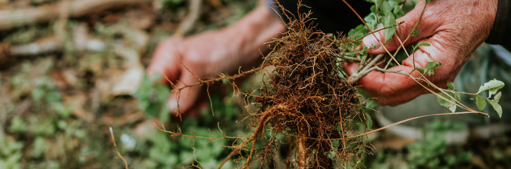 weed roots from a plant